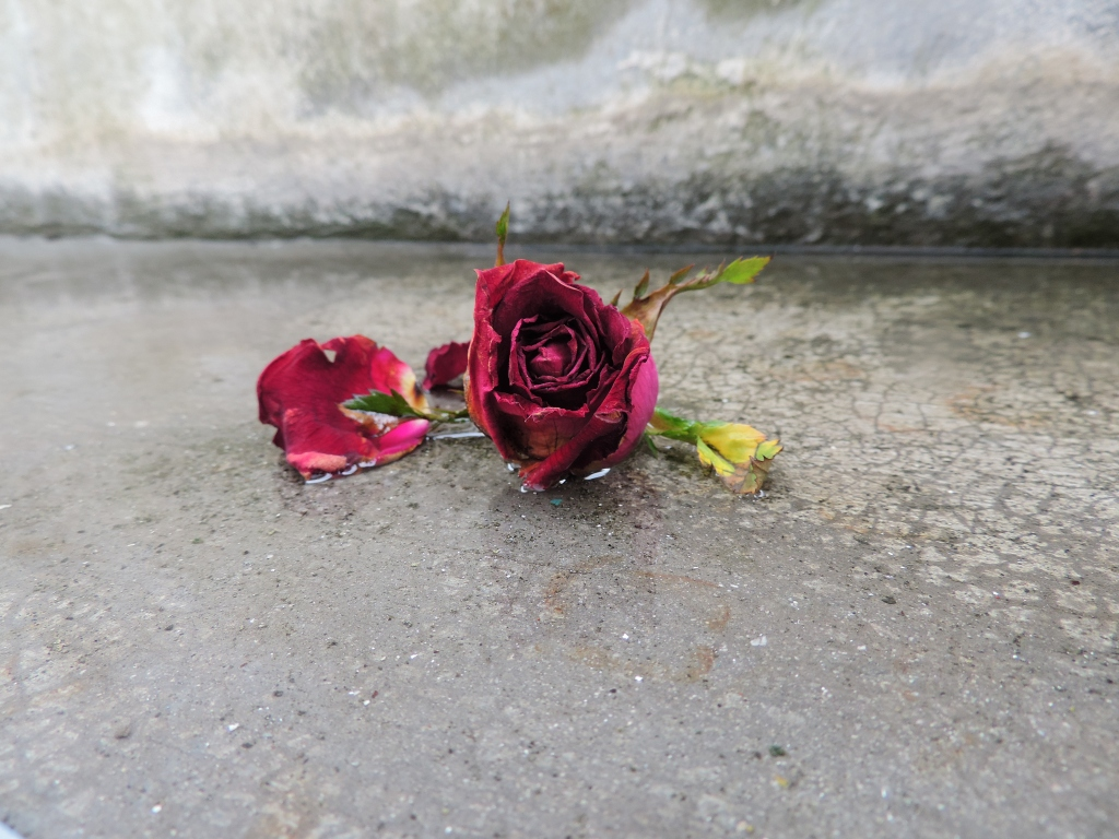 dying red rose
